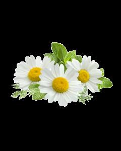 Chamomile Oil - Roman Organic