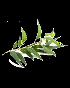 Eucalyptus Oil - Globulus
