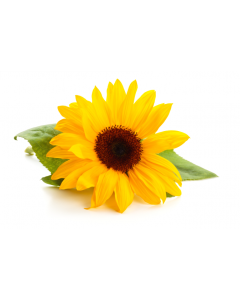 Sunflower Lecithin - Liquid Organic