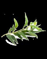 Eucalyptus Oil - Radiata Organic