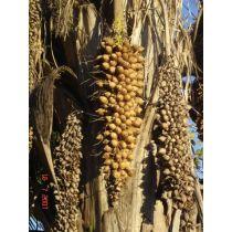 Babassu Oil - Organic