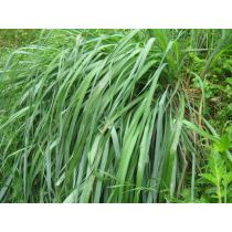 Citronella Oil - Organic