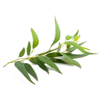 Eucalyptus Oil - Citriodora
