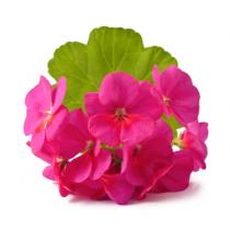 Geranium Fragrance Oil - 3.3 kg Gallon (128 fl. oz.)