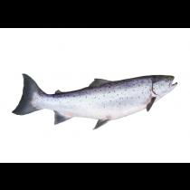 Salmon Oil - Wild Alaskan
