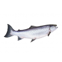 Salmon Oil - 18% EPA & 12% DHA Blend