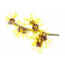 Witch Hazel - Natural - USP